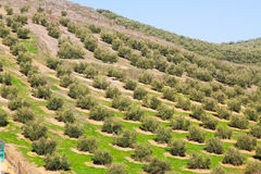 Olives plant Stock Images