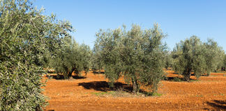 Olives plant at field royalty free stock photo