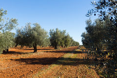 Olives plant at field stock photo