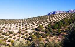Olives plant at  fields in Andalusia, Spain Stock Photography