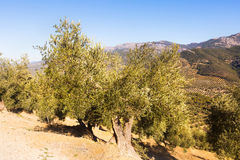 Olives plant at hill fields Stock Photography