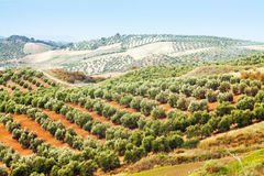 Olives plant among hills Stock Images