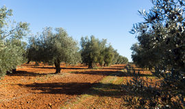 Olives plant Stock Photography