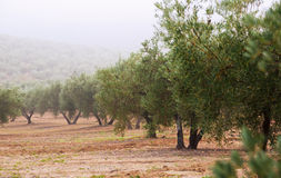 Olives plant in  winter Royalty Free Stock Image