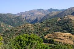 Olives plantation on Crete, Greece Royalty Free Stock Photo