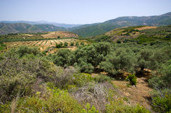 Olives plantation in the mountains of Crete, Greece Stock Photos