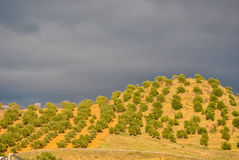 Olives plantation Stock Images