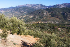 Olives plants.  Andalusia, Spain Stock Photo
