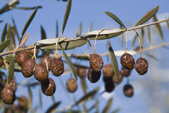 Olives in poor condition Royalty Free Stock Photography