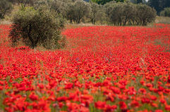 Olives and poppies Stock Images