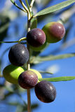 Olives of portugal Royalty Free Stock Photography
