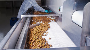 Olives in a processing machine. Selector Stock Photo