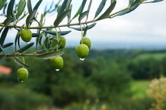 Olives in the rain Royalty Free Stock Photo