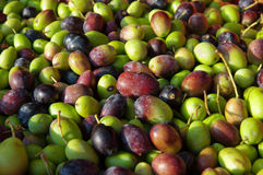 Olives ready for the crusher. Olives picked in crates ready to be crushed Stock Photography