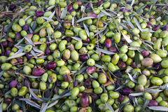 Olives. Ready to be transported to the mill Stock Image