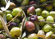 Olives. Ready to be transported to the mill Royalty Free Stock Image