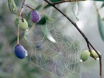 Olives ripening on tree. Early morning dew, web. Royalty Free Stock Images