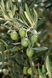 Olives ripening on the tree. Royalty Free Stock Photography