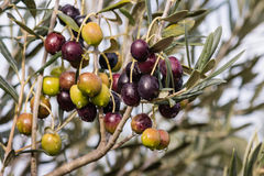 Olives ripening on tree with raindrops Royalty Free Stock Images