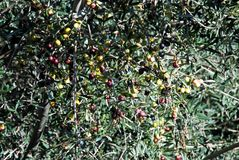 Olives ripening on tree, Spain. Stock Images
