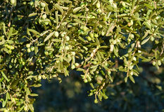 Olives On It's Tree Branch Royalty Free Stock Images