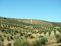 Olives sea in Andalucia 2. Olive trees in Andalucia, Spain Royalty Free Stock Images