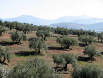 Olives sea in Andalucia 3. Olive trees in Andalucia, Spain Stock Photo