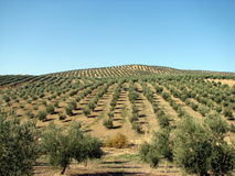 Olives sea in Andalucia. Olive trees in Andalucia, Spain Stock Images