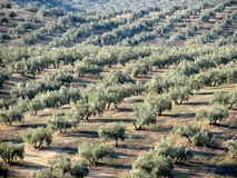 Olives sea in Andalucia 6. Olive trees in Andalucia, Spain with olives in foreground Royalty Free Stock Photos