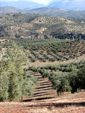Olives sea in Andalucia 7. Olive trees in Andalucia, Spain with olives in foreground Royalty Free Stock Image