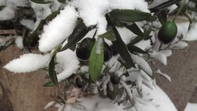 Olives in snow stock footage