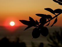 Olives in the sunset. Branches of olive trees at wonderful golden - orange sunset at Croatia-Dalmatia. Horizontal color photo Stock Photo