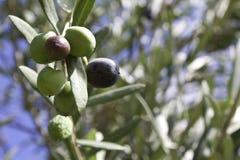 Olives sur l'arbre Photographie stock