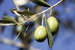 Olives sur un arbre Photographie stock