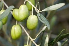 Olives sur un arbre Image libre de droits
