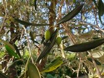 Olives sur un arbre en Italie images libres de droits