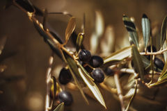 Olives sur un branchement Photos libres de droits