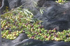 Olives on the tarpaulin freshly harvested Stock Images