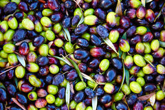 Olives texture in harvest at Mediterranean Royalty Free Stock Photos