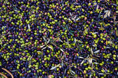 Olives texture in harvest at Mediterranean Stock Images