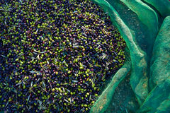 Olives texture in harvest with net Stock Photography