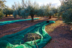 Olives texture in harvest picking net and fork Royalty Free Stock Images