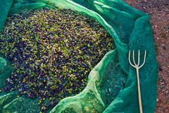 Olives texture in harvest picking net and fork Stock Image