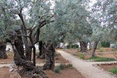 Olives très vieilles dans le jardin de Gethsemane photo stock