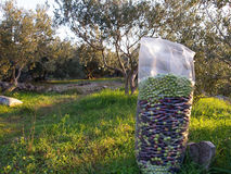 Olives in transport bag Royalty Free Stock Photography