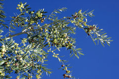 Olives tree Royalty Free Stock Images