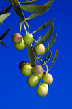 Olives tree Royalty Free Stock Photography