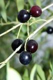 Olives tree Royalty Free Stock Photos