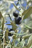 Olives on tree stock photos