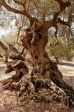 Olives Tree Stock Photography